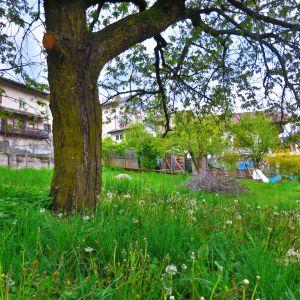 Kirschbaum im Trudner Dorf (c) Karmen Nahberger